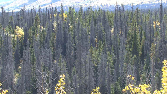 Kluane National Park Spruce Beetle